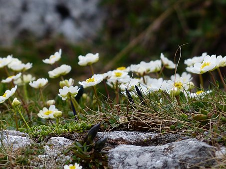 Alpine Buttercup, Blossom, Bloom, White