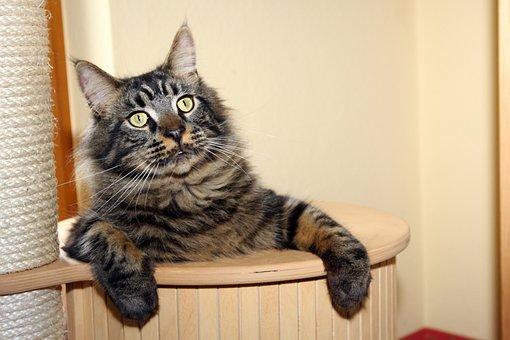 Cat, Kratzbaum, Playful, Relax, Pride, Mainecoon