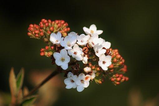Snow Ball, Early Bloomer, Blossom, Bloom, Flowers, Bush