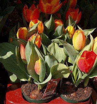 Tulips, Flowers, Spring, Viktualienmarkt Munich, Munich