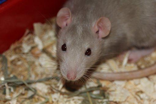 Rat, Rodent, Eat, Food, Curious