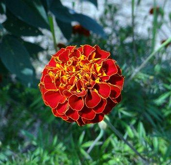 Flower, French Marigold, Kalghatgi, Dharwad, India