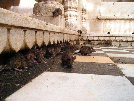 India, Rat Temple, Rat, Holy