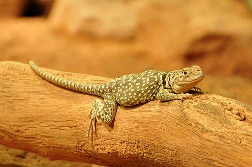 Collars Lizard, Lizard, Reptile, Animals, Animal