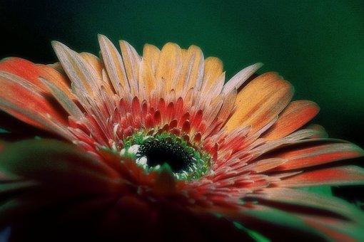 Gerbera, Flower, Colored, Plant, Nature, Macro