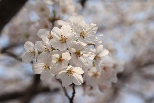 Cherry, Spring, Flower, Blossom, Nature, Bloom