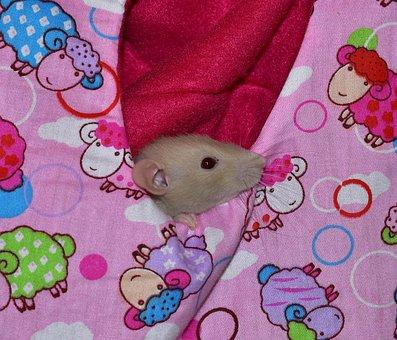 Rat, Rodent, Eat, Food, Curious Bag, Snuggle