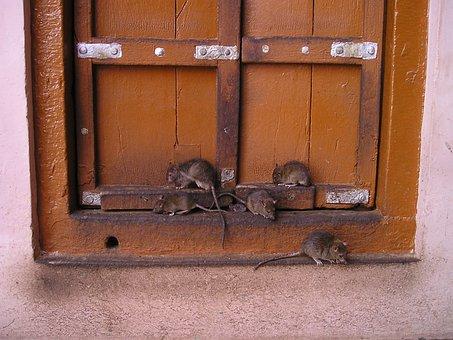 Rat, India, Rat Temple, Holy