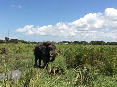 Elephant, Safari, Game Drive, Murchison National Park