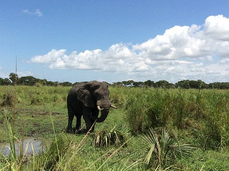 Elephant, Safari, Game Drive, Murchison National Park