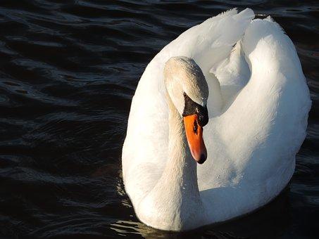 Swan, Bird, Birding, Animal, Nature, Symbol, White