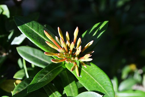 Flower Bud, Tips, Flower Buds, Buds, Sri Lanka