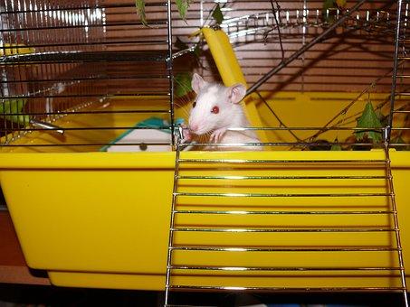 Rat, White, Female, Head Nose, Eat