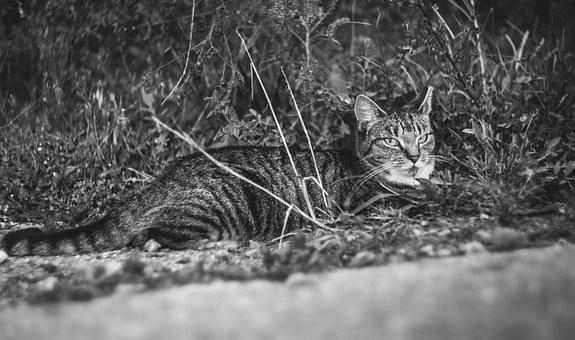 Cat, Animal, Pet, Grey, Cute, Black And White, Wild