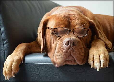 Bordeaux Dog, Dog, Glasses, Canine, Doggy, Pet, Animal