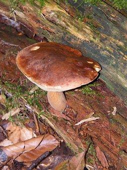 Maronere, Mushrooms, Forest, Autumn, Colorful, Leaves