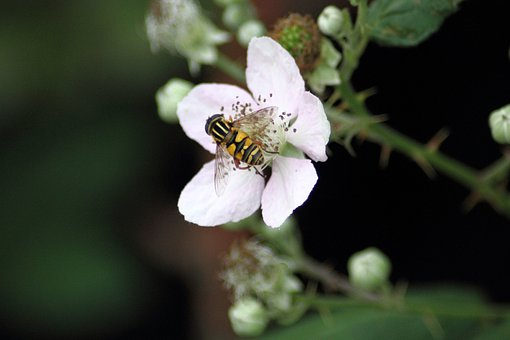Schwebfiege, Fly On Flower, White Blossom, Autumn