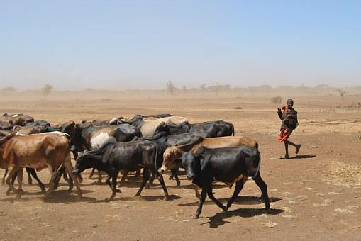 Cattle, Drought, Africa, Child, Work, Cowherd, Tanzania