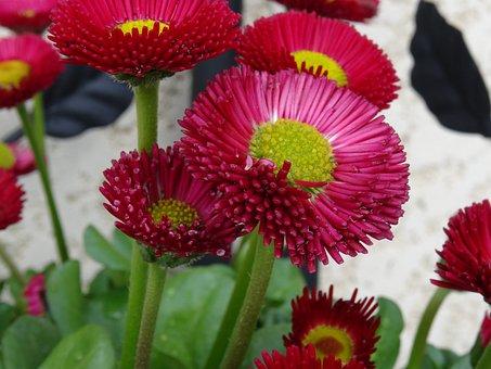 Flower, Madelief, Rose, Spring, Garden, Nature