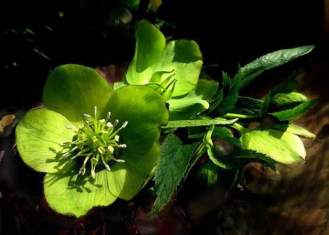 Hellebore, Flower, Green, Spring, Helleborus