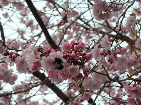 Hummel, Sprinkle, Ornamental Cherry, Blossom, Bloom