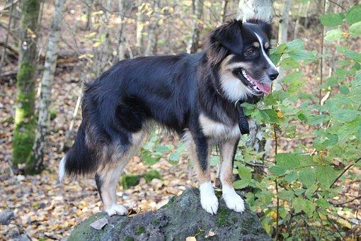 Australia Shepherd, Stone, Dog, Mindful