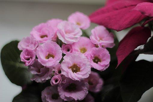 Primrose, Flowers, Plant, Primula Vulgaris, Bloom, Pink