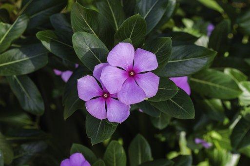 Periwinkle, Sadaphuli, Purple, Flowers, Leaves, Petals