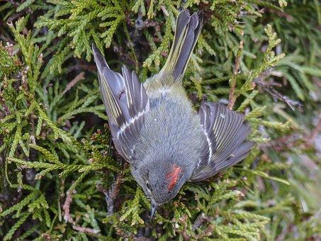Chipping Sparrow, Sparrow, Spizella Passerina, Bird