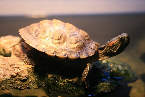 Reptile, Turtle, Fresh Water, Red Eared, Striped