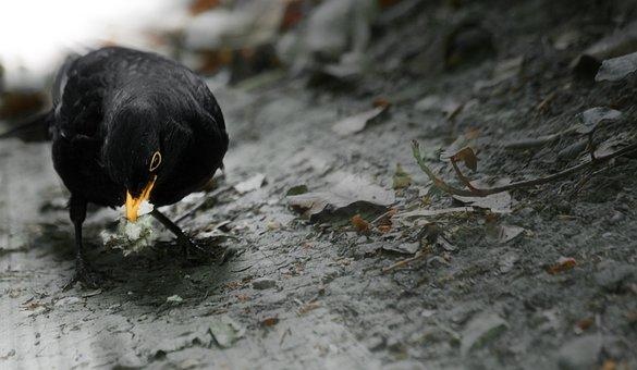 Blackbird, Domestic Birds, Bird, Bill, Animal, Plumage