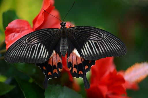 Butterfly, Black, Red, White, Insect, Colorful, Wings