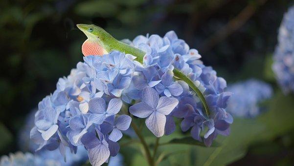 Hydrangea, Lizard, Flower, Blue, Spring, Nature, Animal