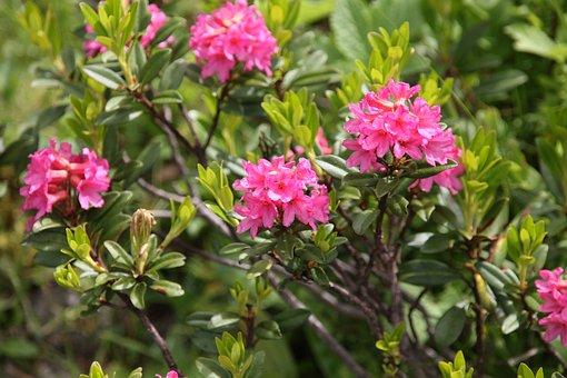 Ciliated Alpenrose, Flower, Flowers, Mountain Flower