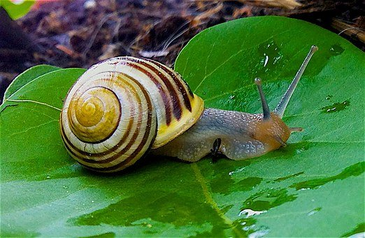 Garden Snail, Snail, Garden Bänderschnecke, Shell