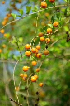 Berries, Orange, Fruit, Plant, Indian