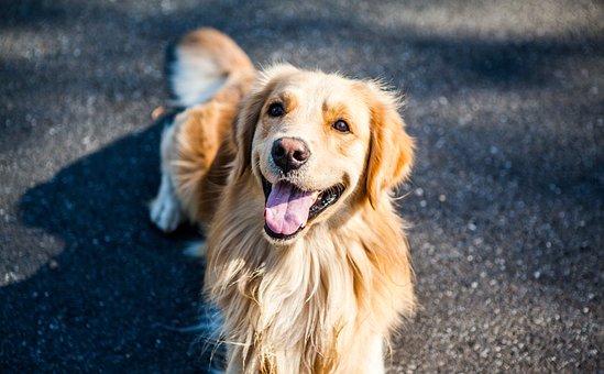 Golden Retriever, Dog, Pets, Golden, Cute, Moe
