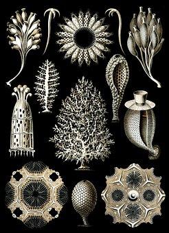 Sponges, Sea Sponge, Haeckel Calcispongiae, Porifera