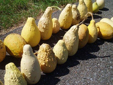 Yellow, Ornamental, Gourds, Fall, Halloween, Pumpkin