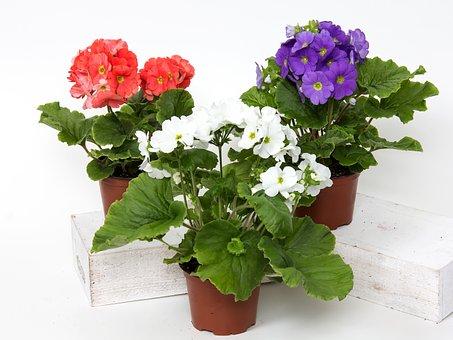 Primrose, Flowers, Cup Primrose, Houseplant, Red