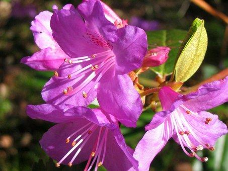 Azalea, Bloom, Blossom, Close-up, Detail, Flora, Floral