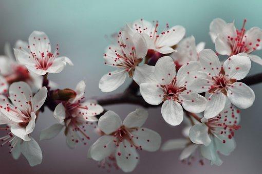 Blossom, Petals, Red, Spring, Nature, Flower, Bloom