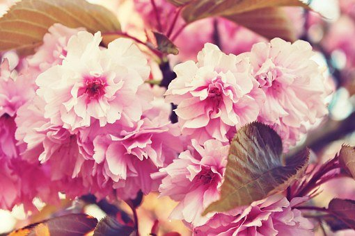 Cherry Blossoms, Spring, Flowers, Pink, Pink Flowers