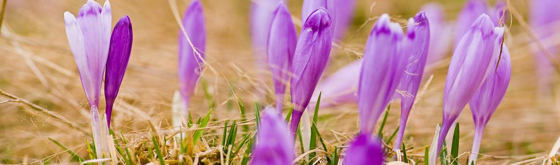 Purple, Flower, Crocus Heuffelianus, Fagaras, Mountains