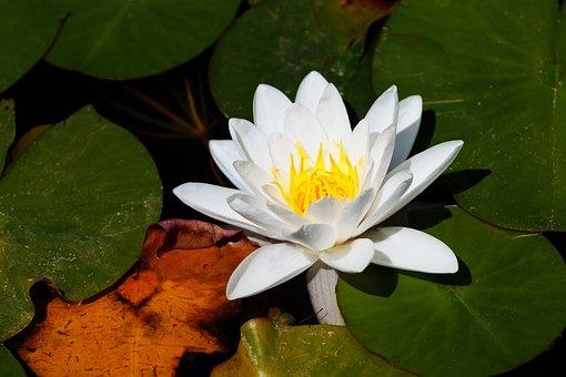 Aquatic, Bloom, Blossom, Flora, Floral, Flower, Garden