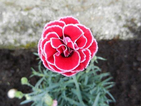 Clavelina, Flower, Spring