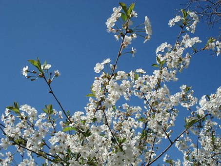 Cherry Blossoms, Spring, Flowers, Flowering Tree