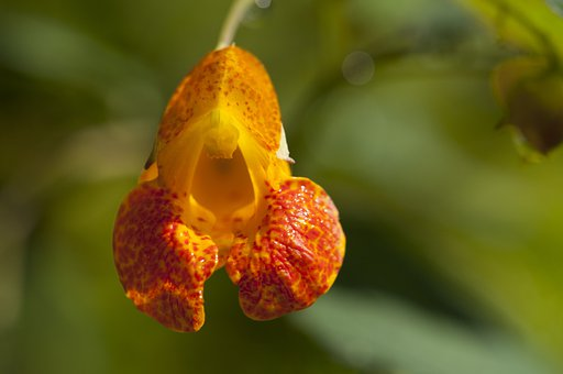 Jewel Weed, Orange, Summer, Flower, Perennial