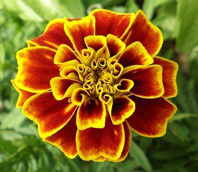 Flower, Marigold, Wildflower, Floral, Plant, Natural