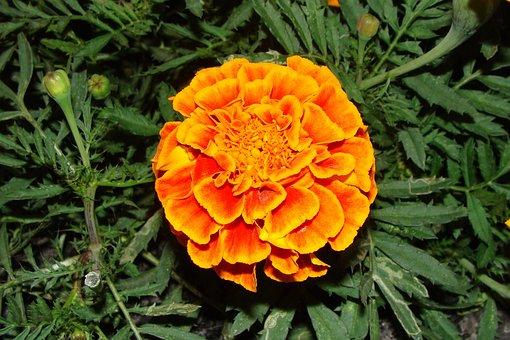 Marigold, Floral, Plant, Natural, Blossom, Bloom, Petal